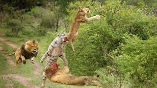 Wild Animals Fight To The Death HD Lion, White Lion,Tiger,Leopard,Snow Leopard,Hyena