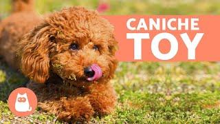CANICHE TOY - Características, Carácter y Cuidados