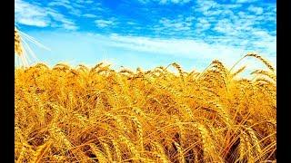 Роди Боже жито 🌿 Ірина Українець   Ukrainian song