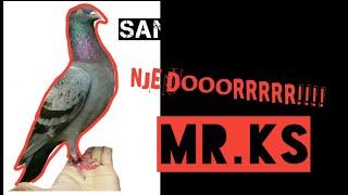 SAAT SAAT MR.KS MENGUDARA DAN NJEDORR MUSUH..