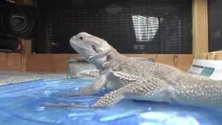 Lizard jumps down to eat a bug but decides to get a drink instead.