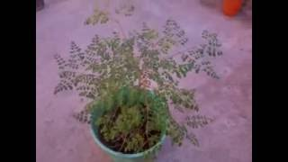 Moringa marocan - مورينجا اولويفيرا