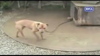 Shocking RSPCA Footage of Pit Bull fighters Backyard