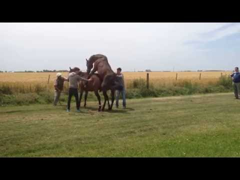 Horse's mating process