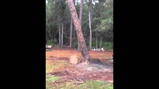 How to pop a pine tree out of the ground