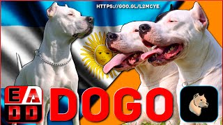 El majestuoso DOGO ARGENTINO. Cazador de presa mayor y mascota fiel.
