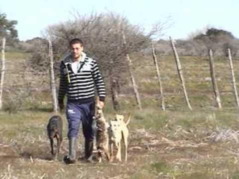 caza de liebres con galgos parral chile 6