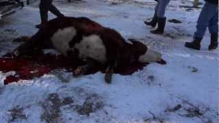 2012 cow killing