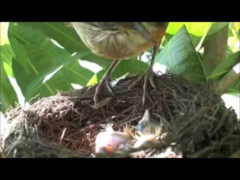 Sabiá Laranjeira cuidando dos 3 filhotes