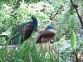Download Berburu menangkap burung merak