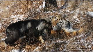 New  UNUSUAL FRIENDSHIP GOAT AND TIGER  (Video shot from 5 to 13 December 2015)