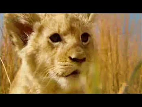 Xxx Mp4 Lion Sperm Bank Lion Out Of Africa BBC 3gp Sex