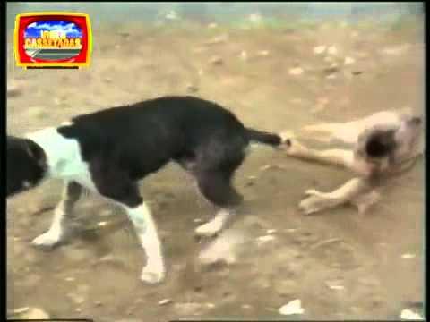 Macaco x Cachorro