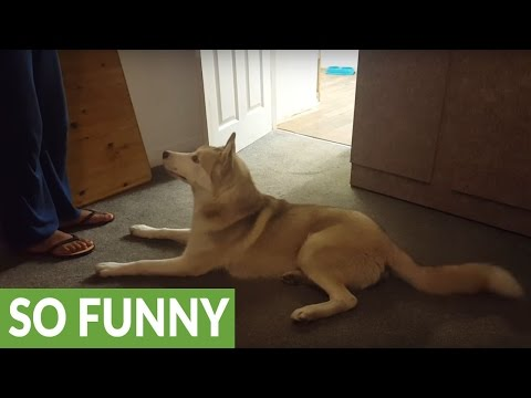Husky refuses to take shower vocally argues with owner