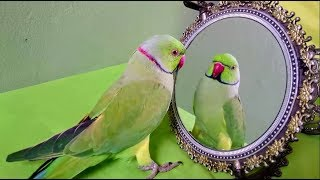 Indian Ringneck Parrot Talking to Mirror