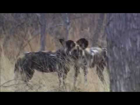 Tribal conflict Wild dogs and hyaenas