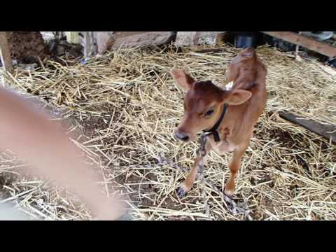 Boy playing with baby cow calf
