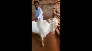 Baber Sher Bakra For 2018   Karachi Cow Mandi 2018   Sohrab Goth 2018