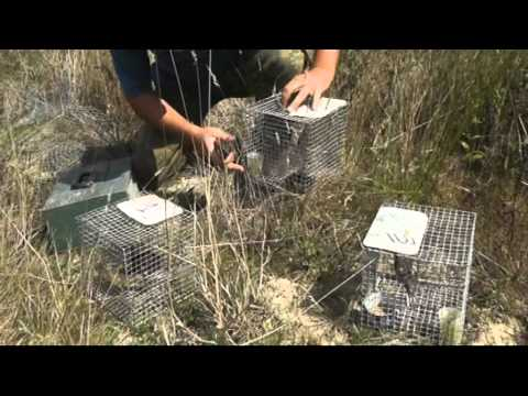 CABS Operation against illegal Ortolan Bunting trapping Matoles in France Landes