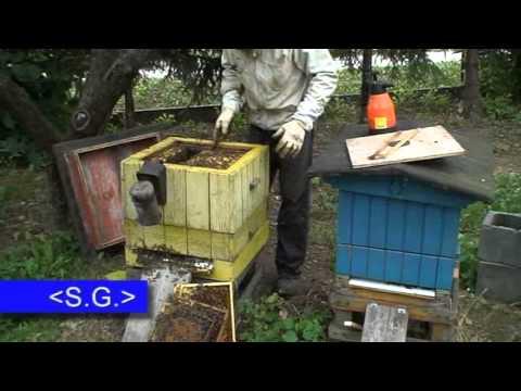 Buckfast pszczoła złośliwa Hybride Bienenrassen Hybrid bee пчелы pasieka rój queen matka matki