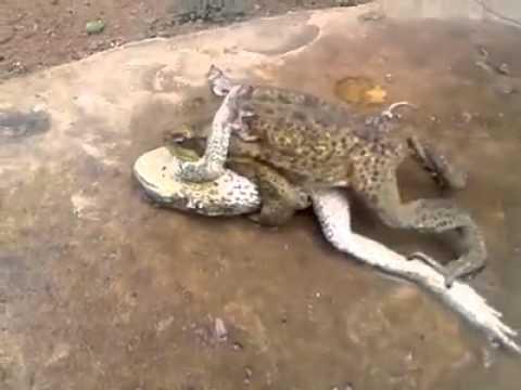 Sexual - mate ဖား၂ေကာင္လိင္ဆက္ဆံမူ