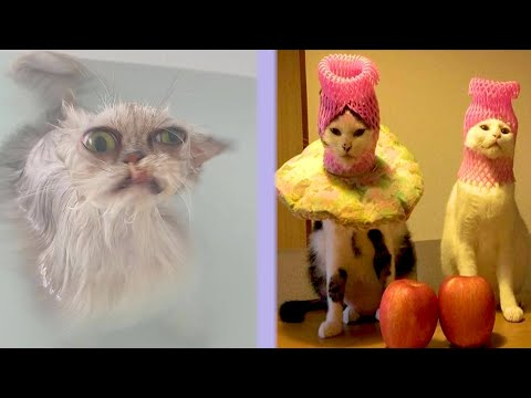 BEST CAT MEMES COMPILATION OF 2021 PART 39 FUNNY CATS