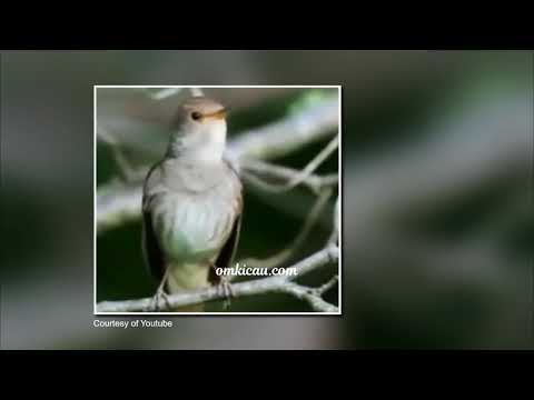 Burung burung sikatan londo masteran mantab