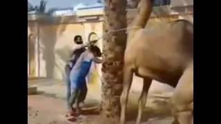 Égorger un chameau au nord du mali