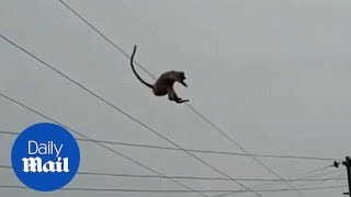 Monkey makes a daring 100ft leap from tower top in India - Daily Mail