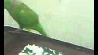 My Sweet & Naughty Mithu Munna Pet Parrot Totta MOV0006A.3gp