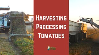 How Tomatoes are Harvested