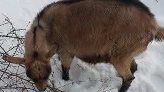 Тесты на беременность у козы 175