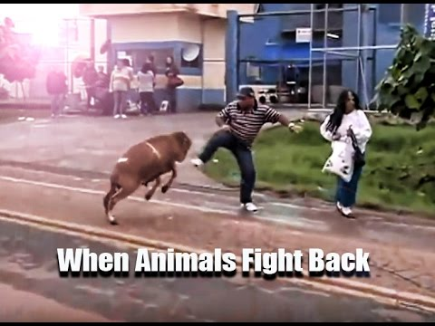 When Animals Fight Back 🐐 🐂