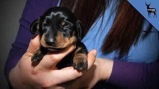 This Wiener Dog is The First Cloned Pet!