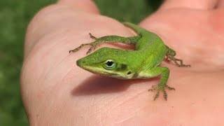 How To Catch Reptiles And Amphibians In Your Backyard! (Toads and lizards)