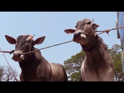 Seed Bulls of Hallikar breed part 2