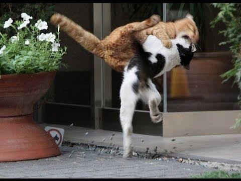 EPICA Pelea de Gatos