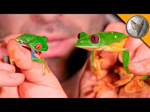Red Eye vs Gliding Tree Frog