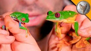 Red Eye vs Gliding Tree Frog!