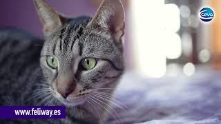 Pelea felina. Descubre porqué pelean los gatos.