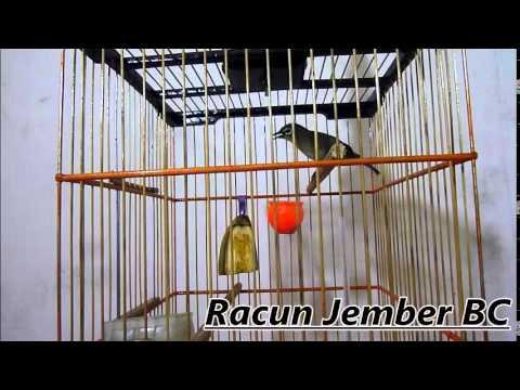 Pleci RACUN (Variasi kenari , Tembakan , Gacor , new 2015 )