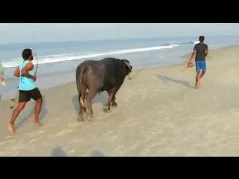 FIGHTING TO KEEP FIT FOR THE BUFFALO FIGHT AT GOA