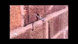 Determined honey bee removes a massive nail from a wall