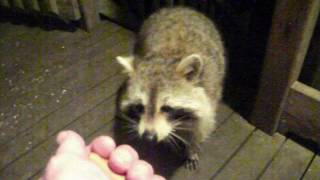 Rascal Raccoon and Friends  8 May 2017