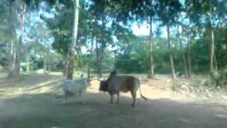 Cow sex milan