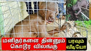 Human eating animal caught in India?