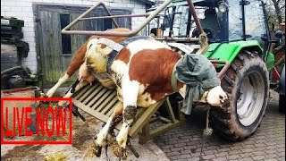 World Modern Technology Automatic Cow Shoeing and Cleaning Mega Machine Factory on Wheels #ARJ