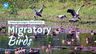 Migratory Birds (অতিথি পাখি) at Jahangirnagar University Bangladesh Dec 2014