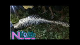 Missing woman found inside giant python in indonesia