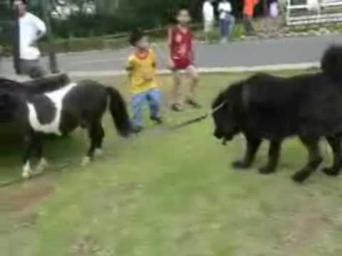 Miniature Horse had hostility toward the Tibetan Mastiff
